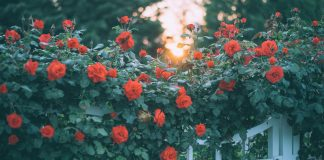 нельзя садить рядом с красавицей розой